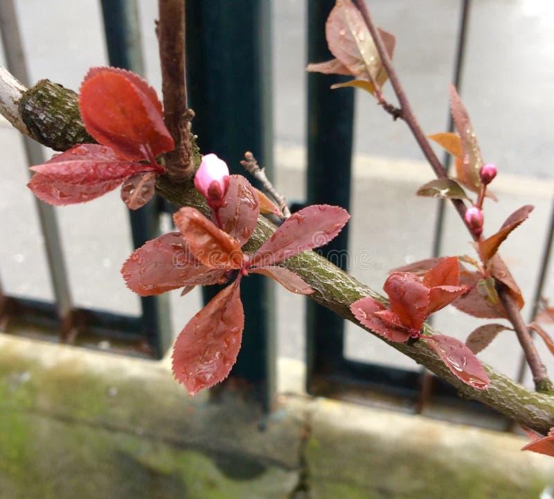 Fleur fleurie rose de magnolia image libre de droits