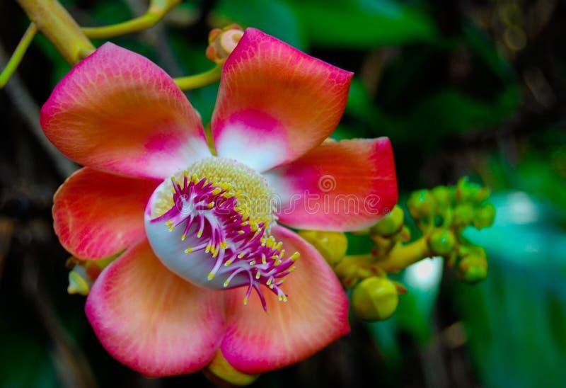 Fleur fleurissante d'arbre de boule de canon photo stock