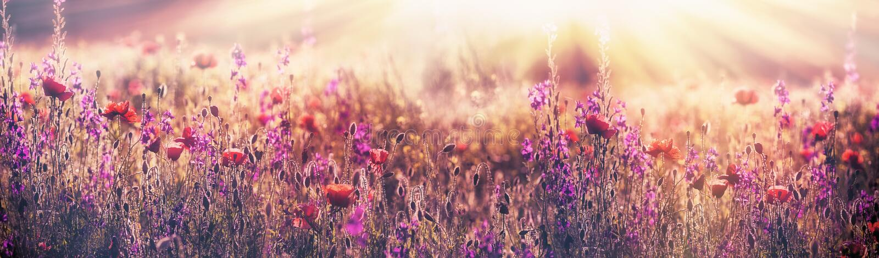 Fleur fleurissante de pavot - belle fleur de pavot et fleur pourpre dans le pré photographie stock libre de droits