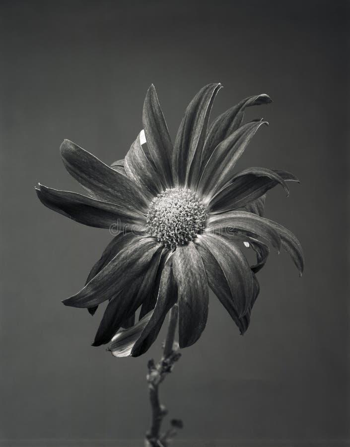 Fleur foncée photo stock