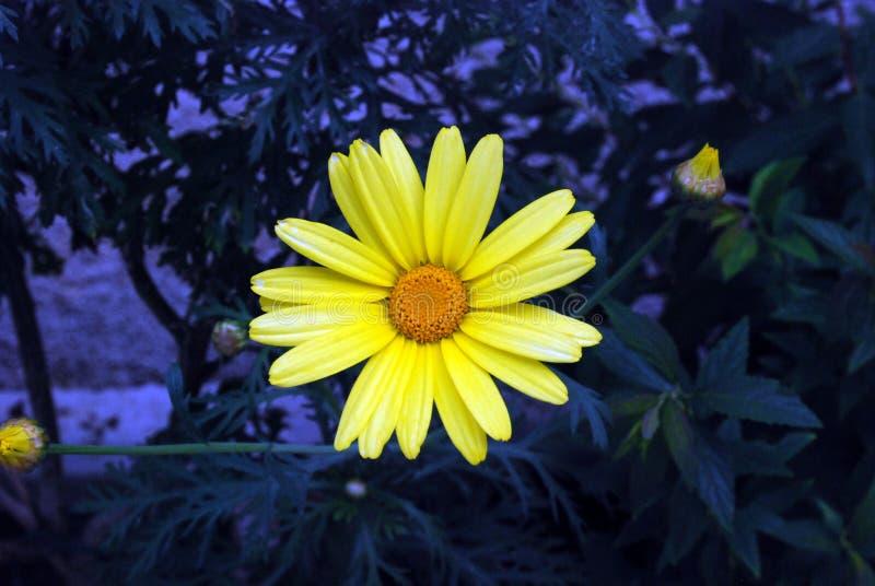 Fleur foncée photos libres de droits