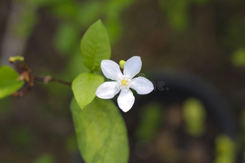 Fleur fraîche de jasmin photographie stock libre de droits
