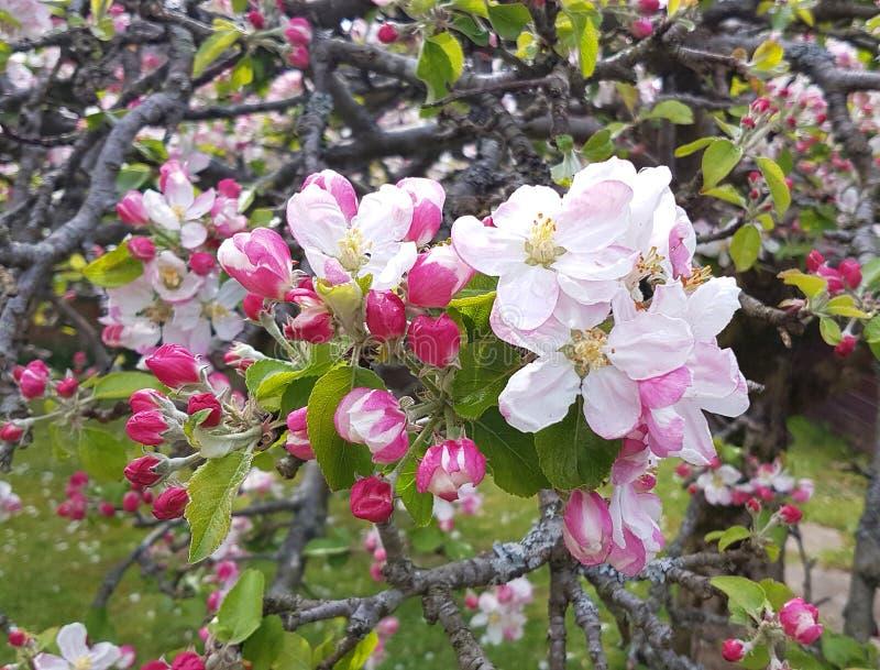 Fleur fraîche de spple sur un vieil arbre noueux image stock