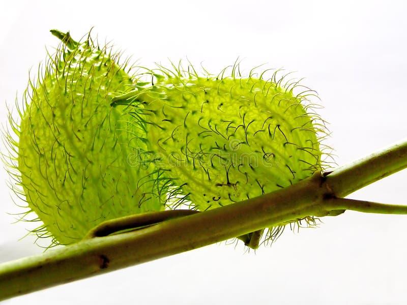 Fleur/fruit d'Esclepias images stock