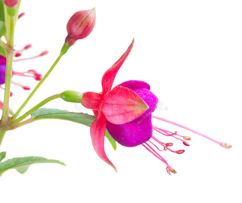 Download Fleur fuchsia sur le blanc image stock. Image du vert - 77160489