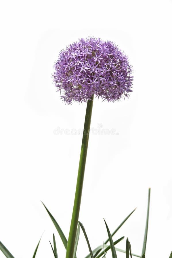 Fleur géante d'allium photo libre de droits