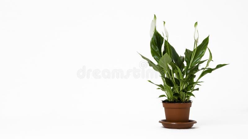 Fleur gentille dans un pot sur le fond blanc image stock
