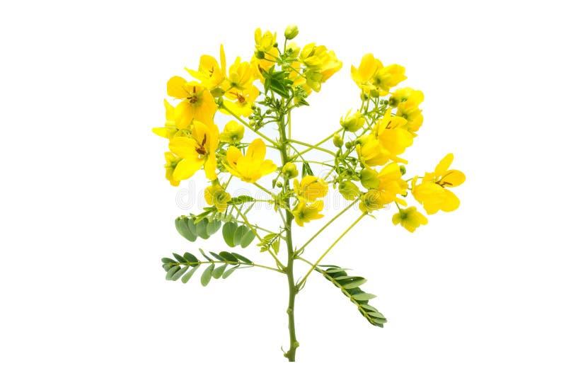Fleur glauque de casse photo stock