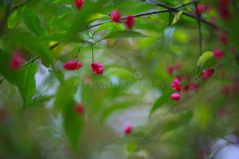 Fleur glorieuse de rose d'Antigonon photos stock