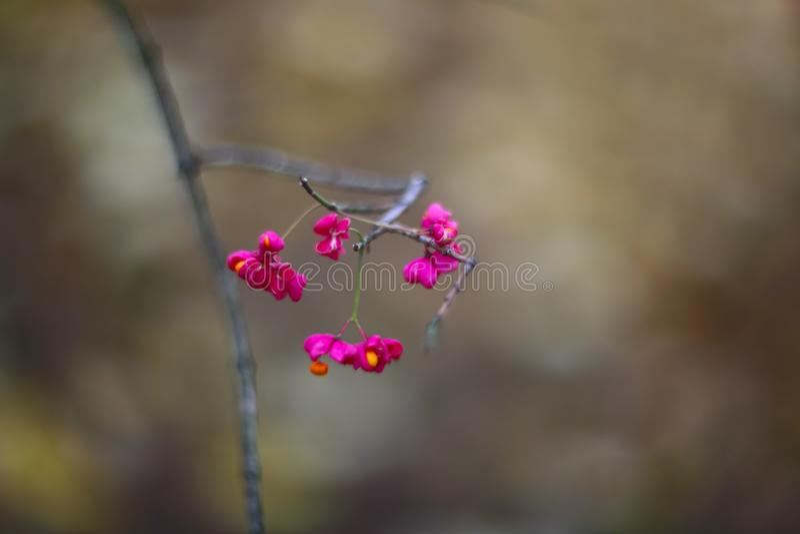Fleur glorieuse de rose d'Antigonon image stock