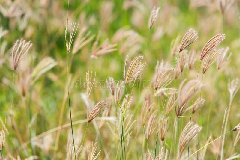 Fleur gonflée d'herbe de doigt images libres de droits