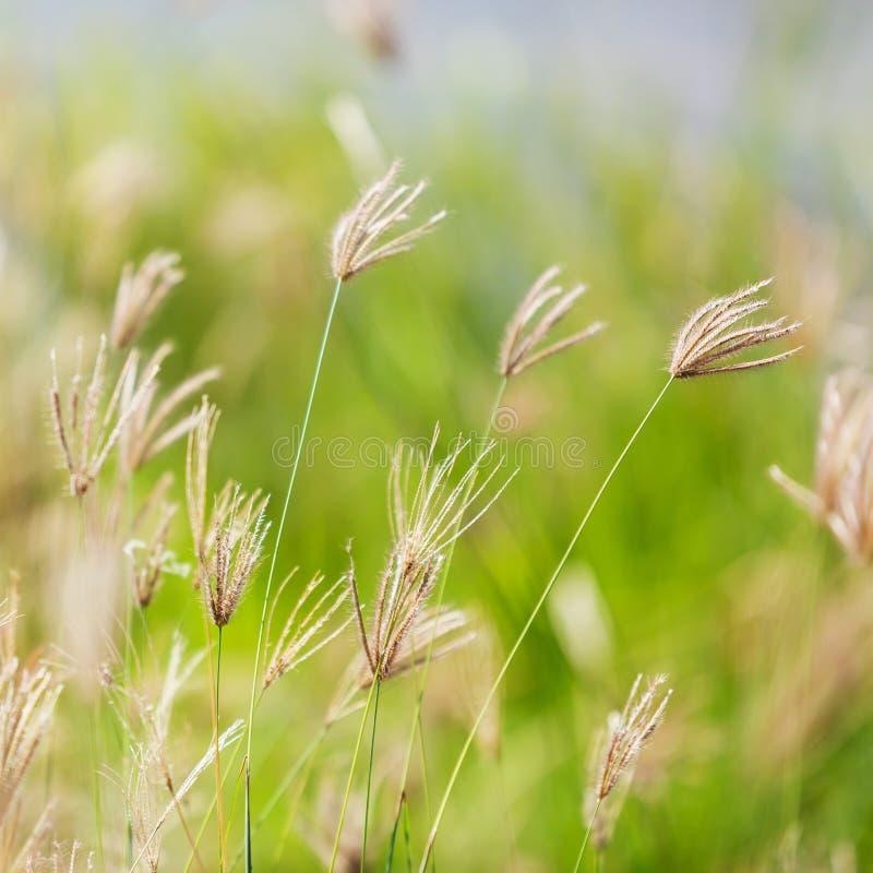 Fleur gonflée d'herbe de doigt image stock