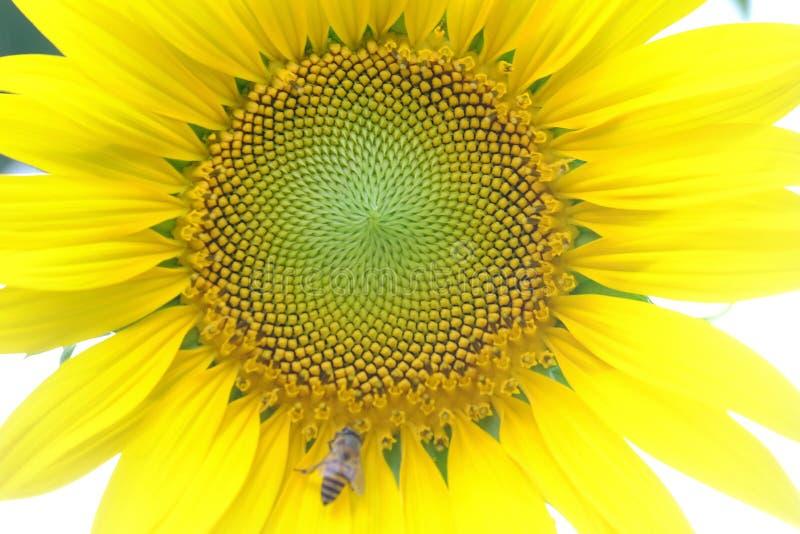 Fleur haute étroite de tournesol dans un jardin photo libre de droits