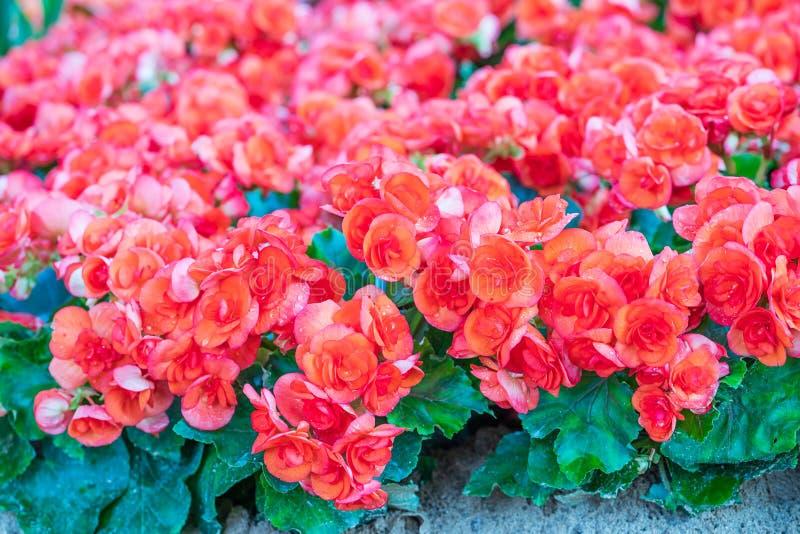 Fleur herbacée de blossfeldiana rouge de Kalanchoe photographie stock libre de droits