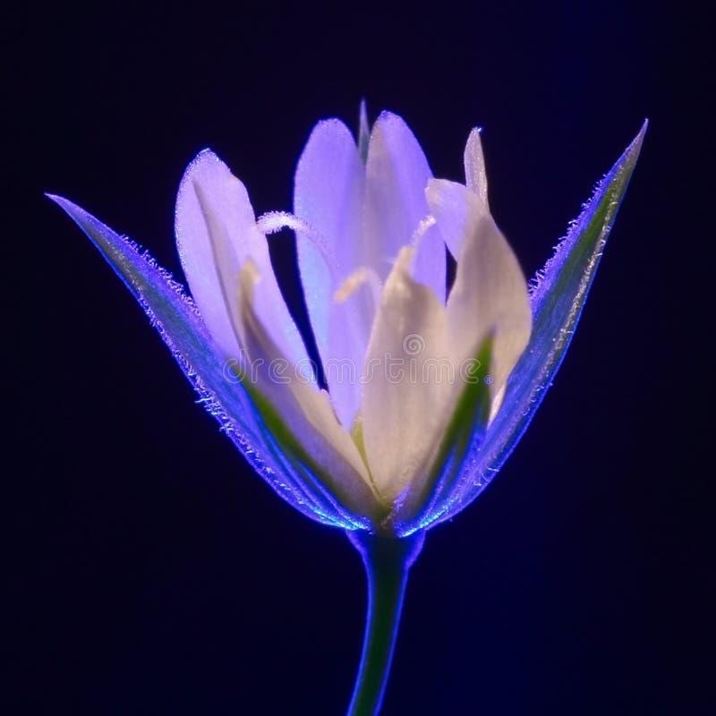 Fleur illusoire photographie stock