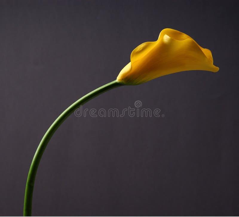 Fleur incurvée de kala images stock