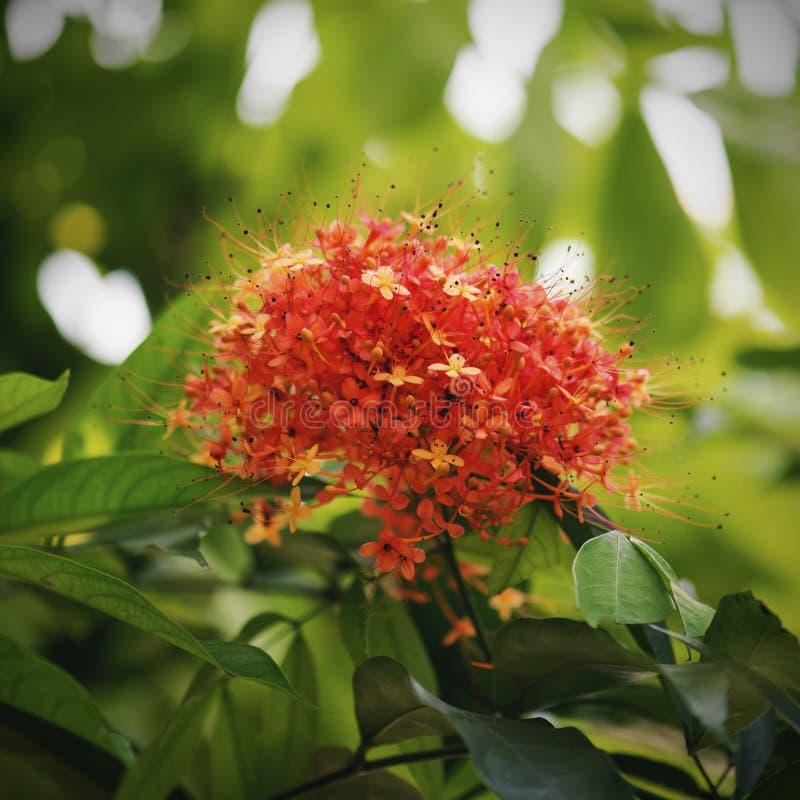 Fleur indica de Saraca ou fleur d'ashoka photo stock