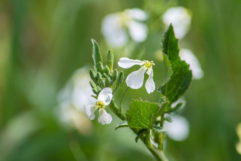 Fleur indigène blanche image libre de droits