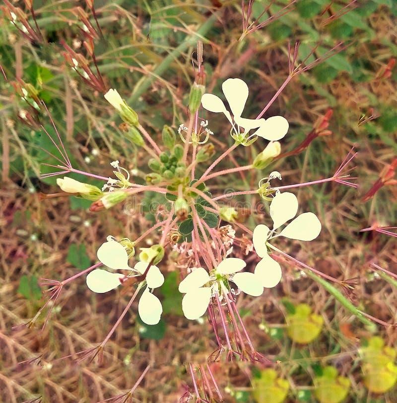 Fleur indigène d'un village indien image libre de droits
