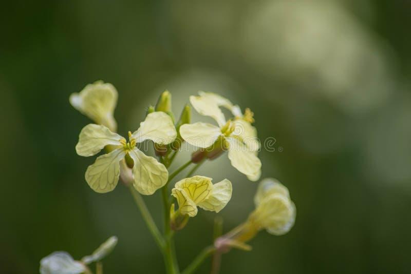Fleur indigène jaune image stock