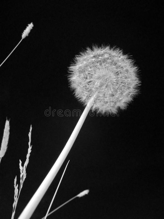 Fleur infrarouge images stock