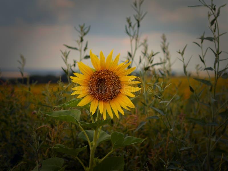 Fleur isolée d'un tournesol dans la perspective d'une haute herbe image libre de droits