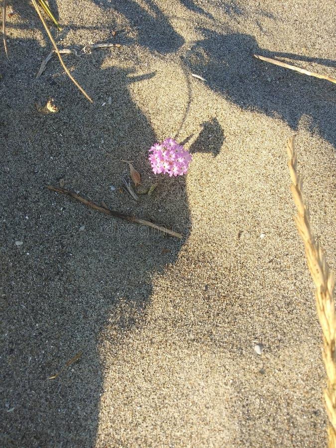 Fleur isolée de plage de Stinson images libres de droits