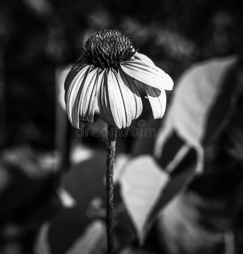 Fleur isol?e photographie stock libre de droits