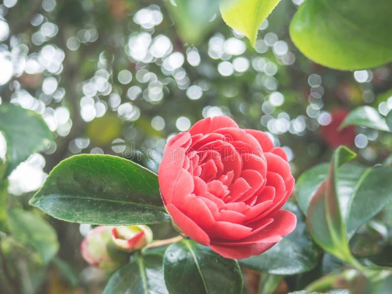 Fleur japonaise de camélia de beau cognassier du Japon rose de camélia dans le jardin sur le fond doux-focalisé photo stock