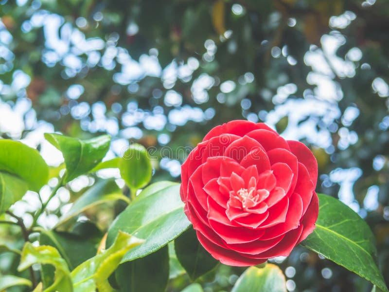 Fleur japonaise de camélia de beau cognassier du Japon rose de camélia dans le jardin sur le fond doux-focalisé image stock