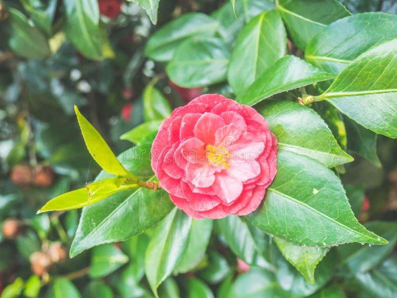 Fleur japonaise de camélia de beau cognassier du Japon rose de camélia dans le jardin sur le fond doux-focalisé image libre de droits