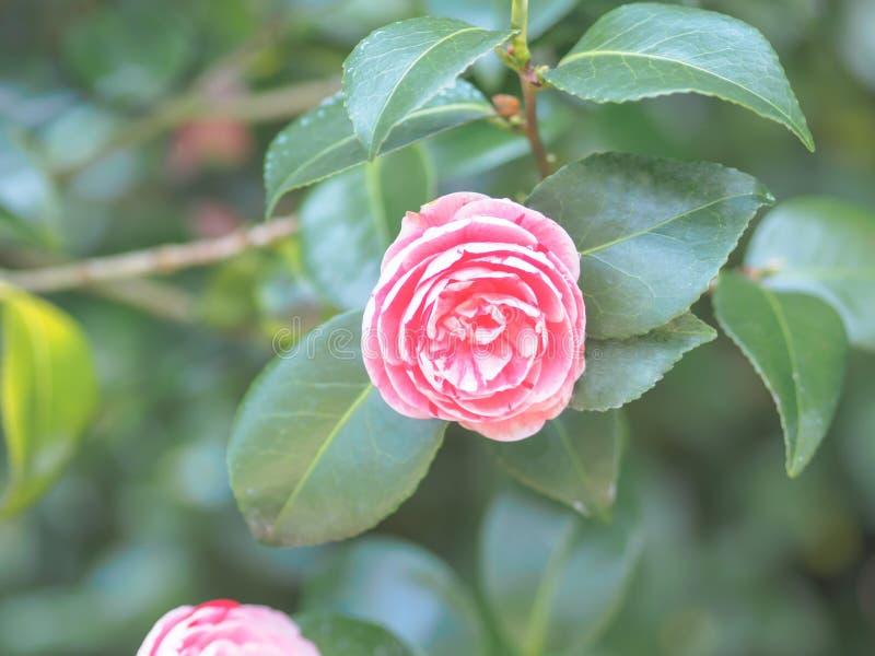 Fleur japonaise de camélia de beau cognassier du Japon rose de camélia dans le jardin sur le fond doux-focalisé photographie stock libre de droits