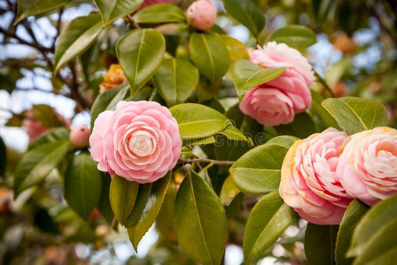 Fleur japonaise rose lumineuse de camélia en fleur photographie stock libre de droits