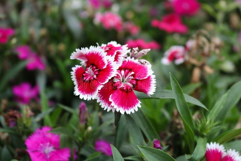 Fleur japonicus d'oeillet rose foncé mignon, doux-William, barbatus d'oeillet images libres de droits