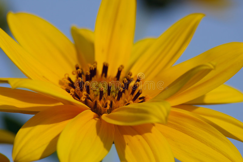 Fleur jaune images libres de droits