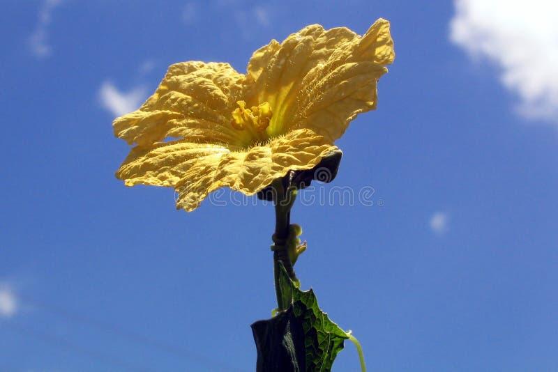 Fleur Jaune En Fleur Photo stock