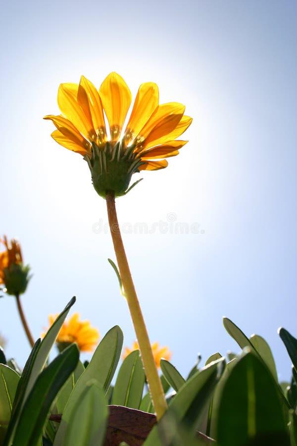 Fleur jaune images stock