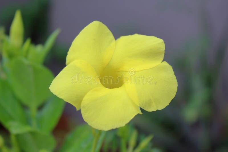 Fleur jaune après pluie photographie stock