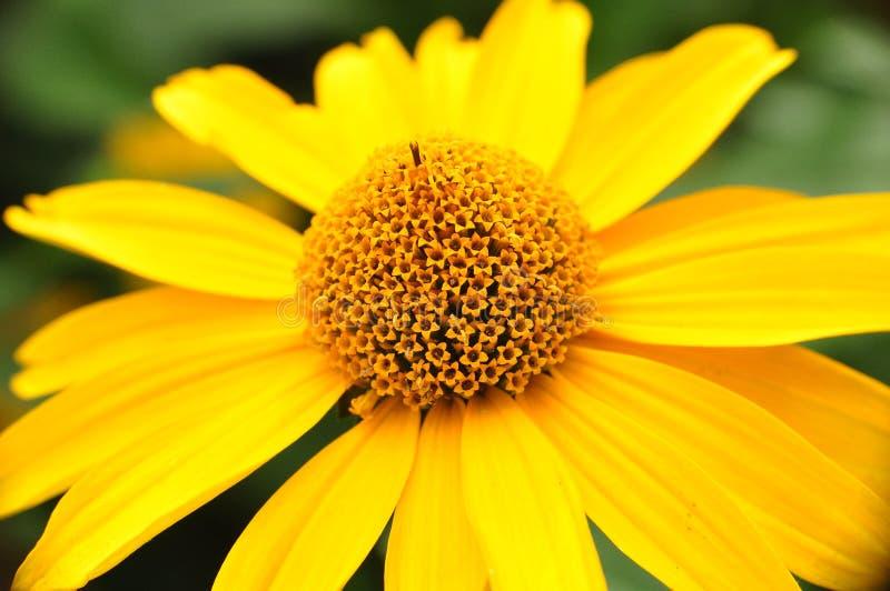 Fleur jaune au milieu d'été photographie stock