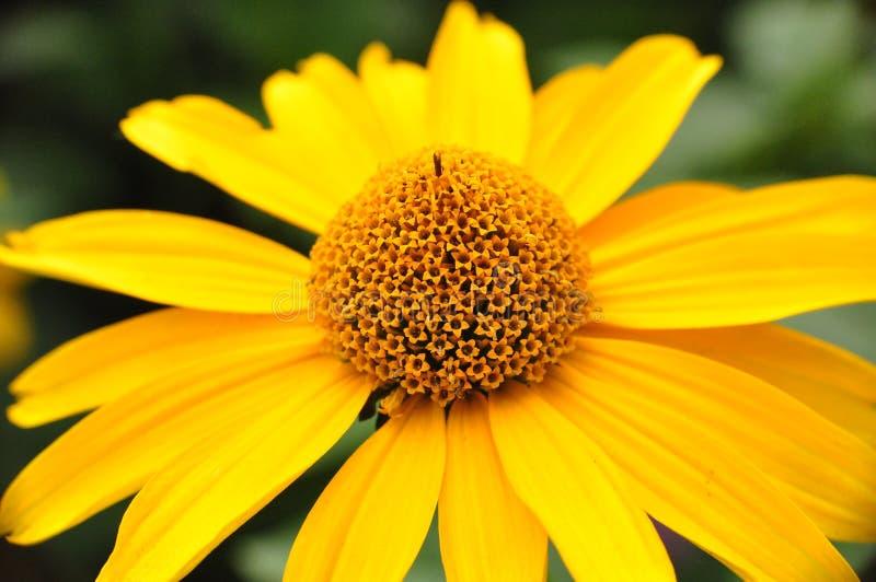 Fleur jaune au milieu d'été photo libre de droits