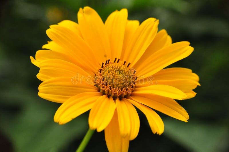 Fleur jaune au milieu d'été photo stock