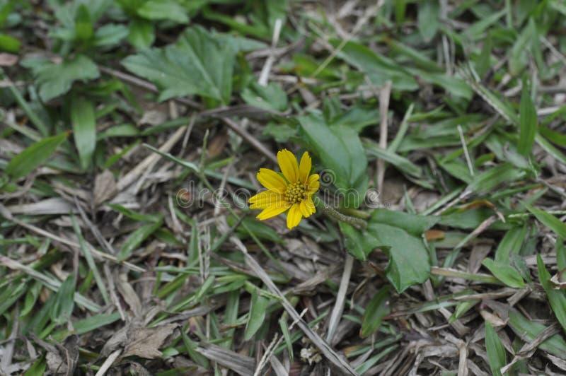 Fleur jaune au Sri Lanka image libre de droits