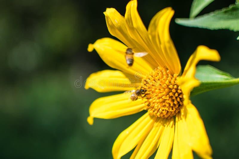 Fleur jaune avec des abeilles photos libres de droits