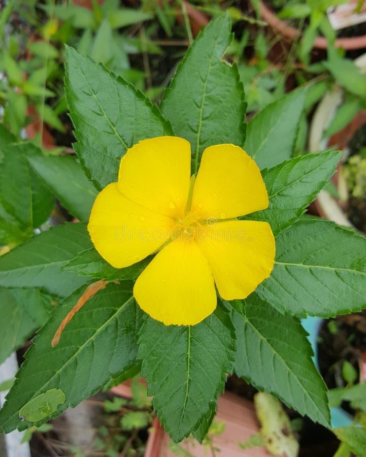 Fleur jaune avec des feuilles photographie stock