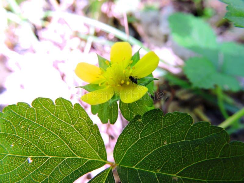 Fleur jaune avec la fourmi photos libres de droits