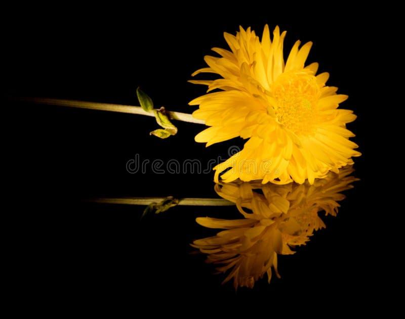 Fleur jaune avec la réflexion sur le noir photographie stock