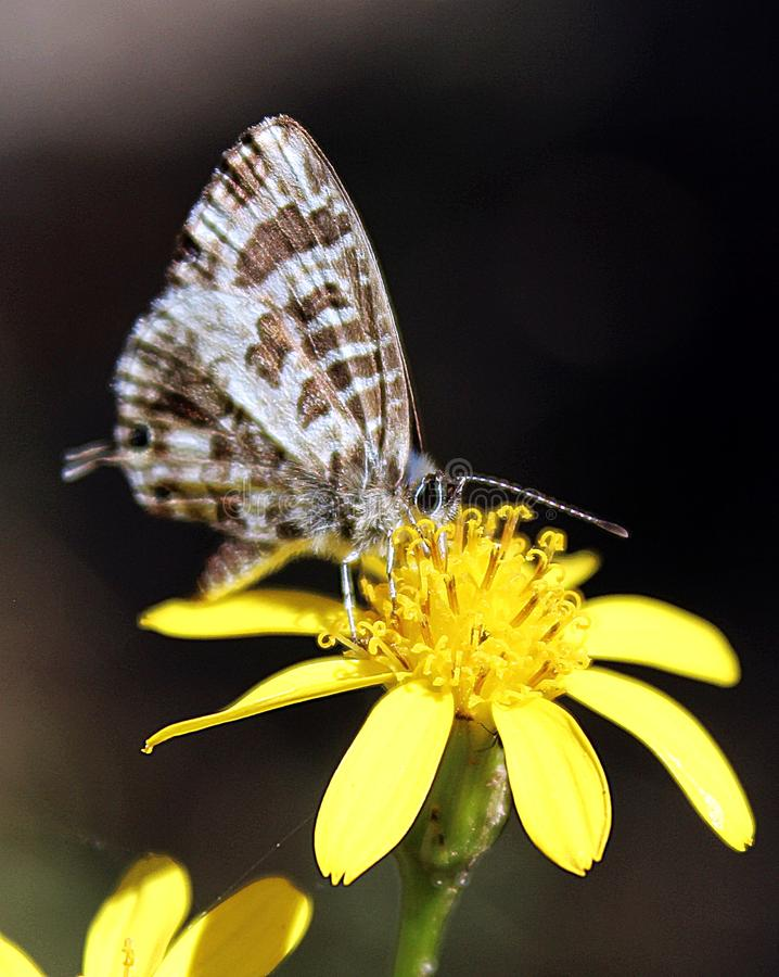 Fleur jaune avec le papillon images libres de droits
