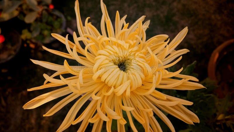 Fleur jaune chinensis de couleur de Nees de Callistephus dans le jardin photographie stock