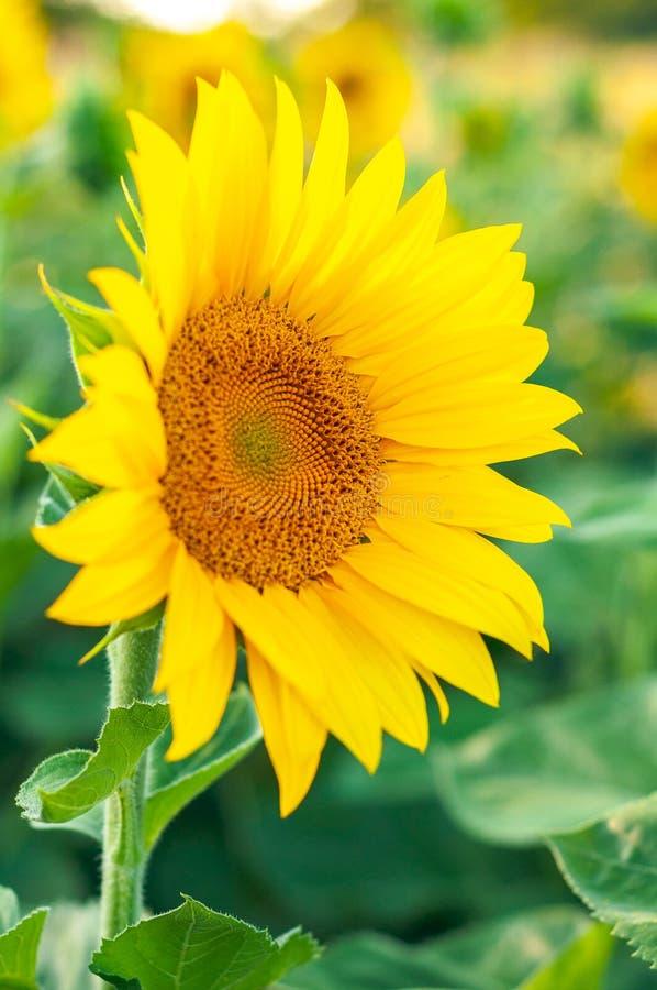 Fleur jaune colorée lumineuse d'une fin de tournesol contre un champ des tournesols photo stock