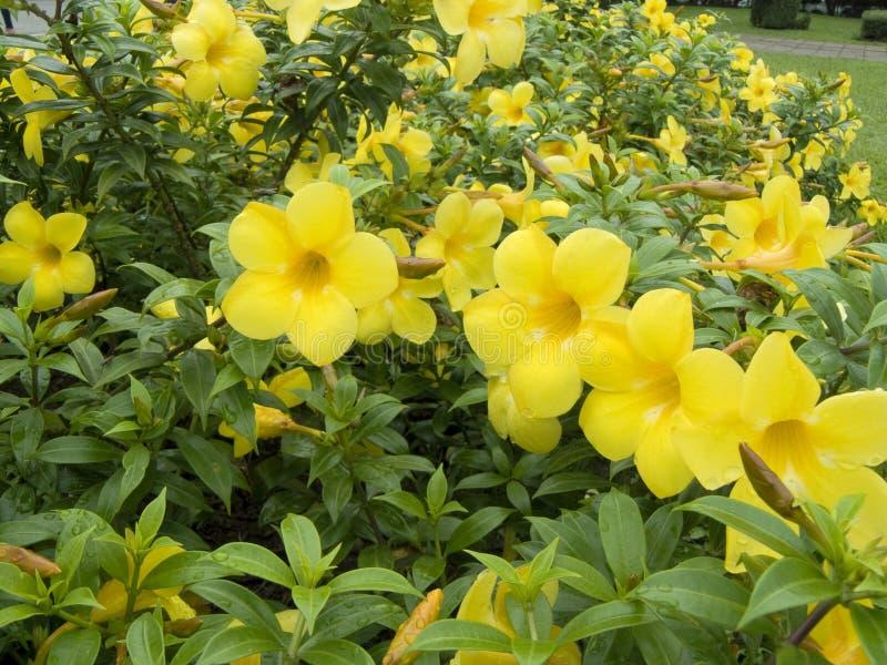 Fleur jaune d'Allamanda image stock
